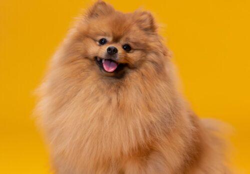 バイオレットが溺愛したポメラニアン犬
