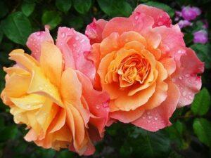 薔薇2輪。