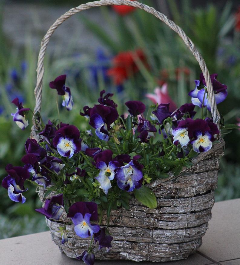 花かごいっぱいのスミレ