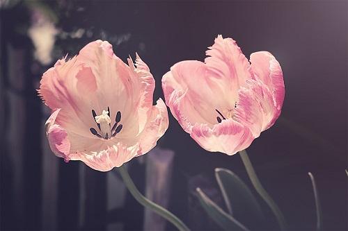 ピンクの花2輪