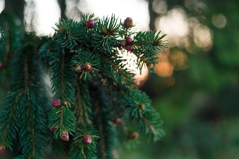 自然の中のクリスマス・ツリー。