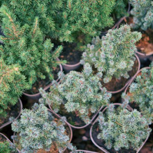 色々な種類のクリスマス・ツリーの苗木。