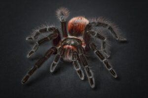 剛毛に覆われた足を持つ毒蜘蛛、タランチュラ。