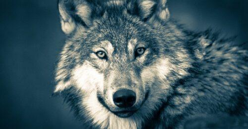 こちらを向く狼の瞳は薄い緑。